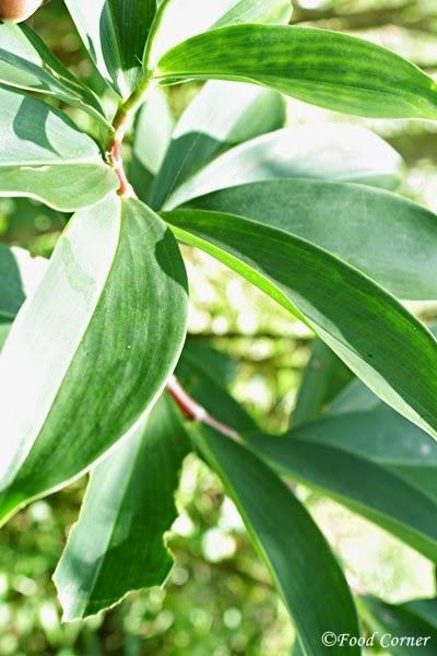 Thebu Kola - A Sri Lankan Diabetic Friendly Plant