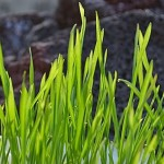 5 Benefits of Wheatgrass