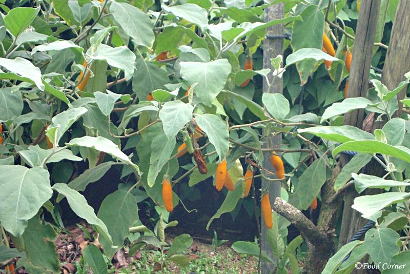 Eggplant/Brinjal