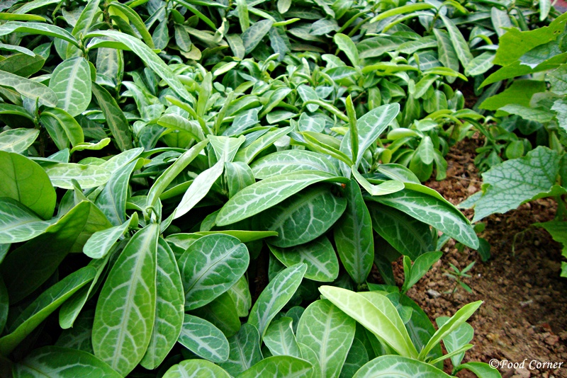 Tropical-Crops-Singapore-Zoo-Dragons-tongue-leaves