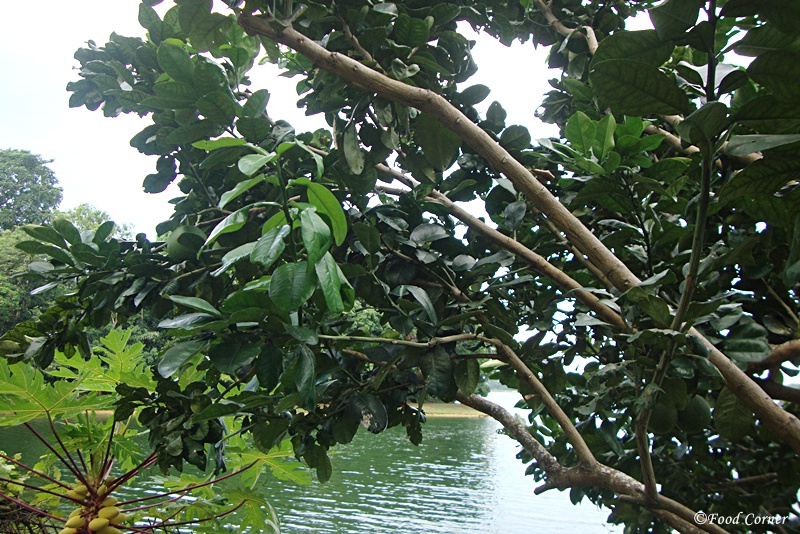 Tropical-Crops-Singapore-Zoo-Pomelo-Tree
