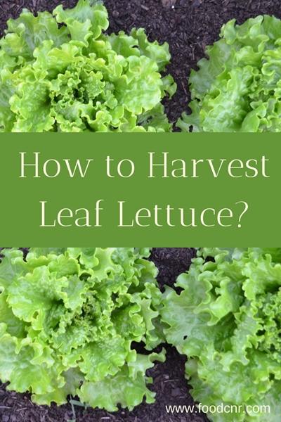 How to harvest leaf lettuce?