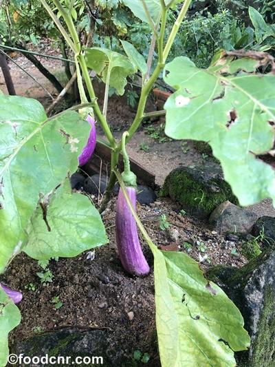 Brinjal-vegetable-garden