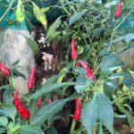 Amma's Home Garden in Sri Lanka : Let's take a Tour