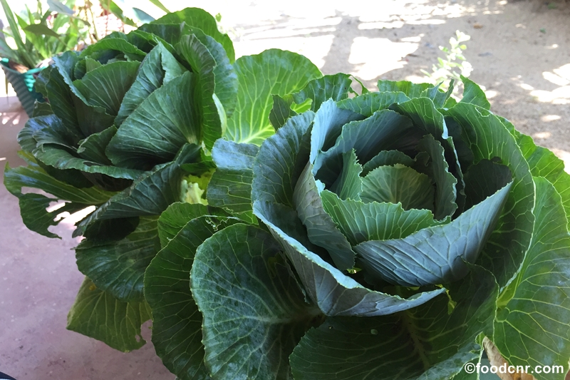 Cabbage-in-pot-Sri-Lanka