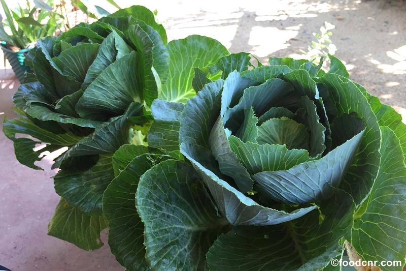 Cabbage-in-pot-Sri-Lanka